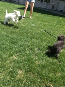 Sonny is the fluffy white one.  Nothing unusual to see here - just a dog walking a dog...